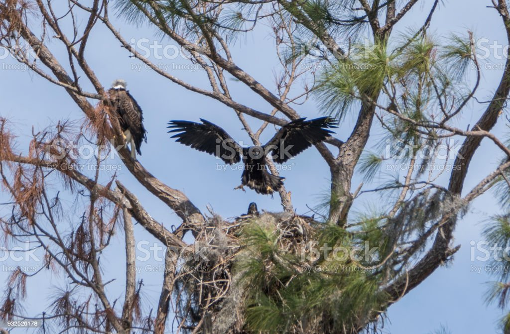 Fledgling Bald Eagle in a Nest on Lake Apopka near Orlando in Central Florida stock photo