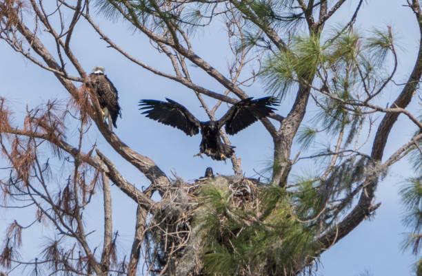 Fledgling Bald Eagle in a Nest on Lake Apopka near Orlando in Central Florida stock photo