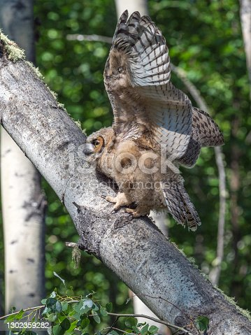 The great horned owl, also known as the tiger owl, the hoot owl, is a large owl native to the Americas. It is an extremely adaptable bird with a vast range and is the most widely distributed true owl in the Americas.