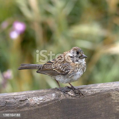 A fledgling Rufous-collared Sparrow (Zonotrichia capensis) waits to be fed by its returning parents on a fence in central Chile