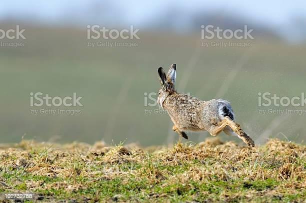 Fleeing hare picture id102732788?b=1&k=6&m=102732788&s=612x612&h=ejeoljjmzrfhmvvswcqs0los69smn  3js 2bwwjimk=