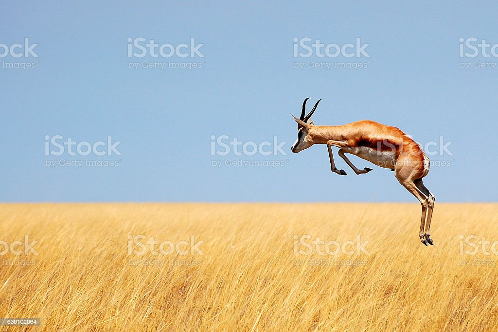 Fleeing springbock stock photo
