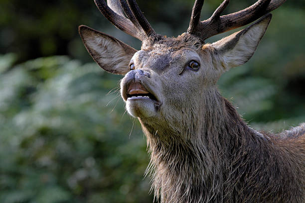 flehmen and front head shot of rutting red deer stag - whiteway deer stock photos and pictures