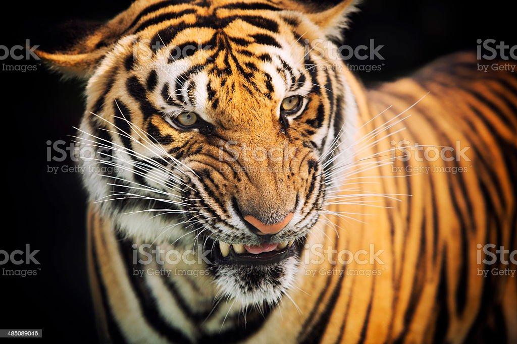 Flehmen Response In The Tiger stock photo