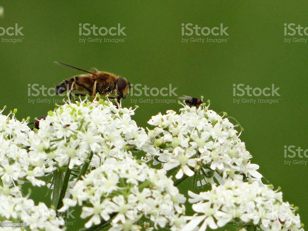 Fleißige Biene – Foto