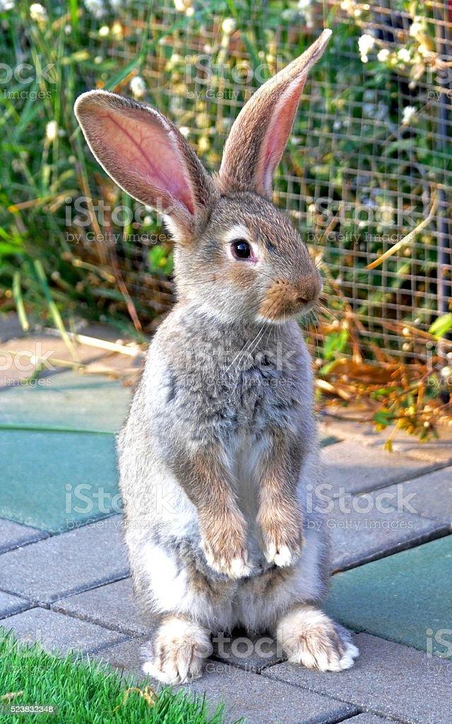Flemish Giant Bunny Is Standing In My Garden Stock Photo