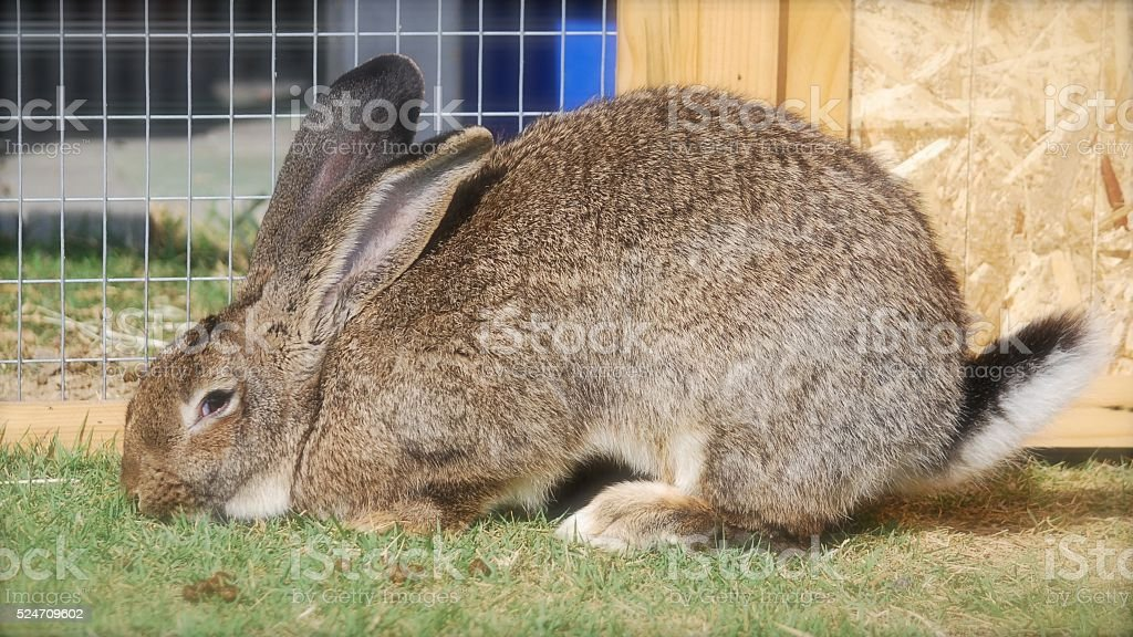 Flemish giant rabbit is sitting in my garden stock photo