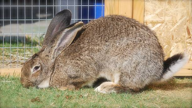 """Flemish giant rabbit is sitting in my garden My pet """" Egor """" is waitng for some does to show up in front of the gate. benelux stock pictures, royalty-free photos & images"""