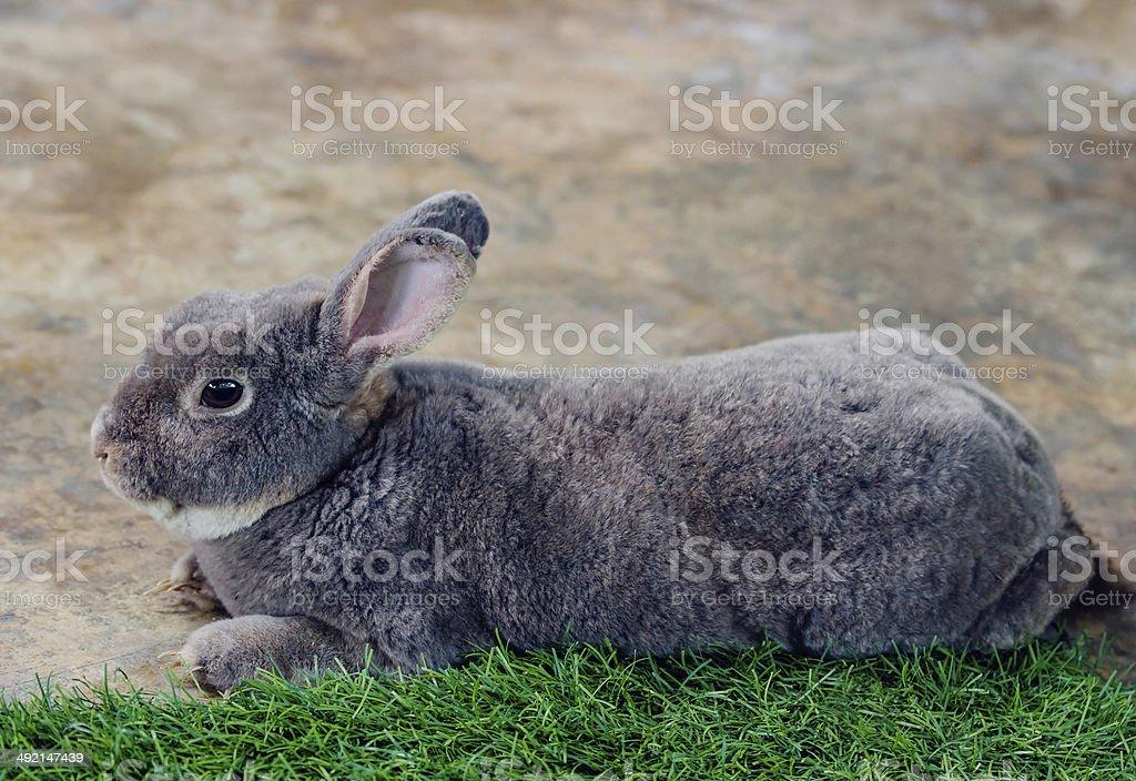Flemish giant rabbit (Oryctolagus Cuniculus) stock photo