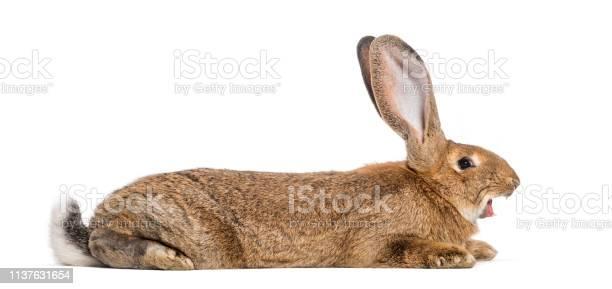Flemish giant rabbit yawning 6 months old lying in front of white picture id1137631654?b=1&k=6&m=1137631654&s=612x612&h=faswizrjapfmhgwo cg3o2ckko0hefgu gtzintalz8=