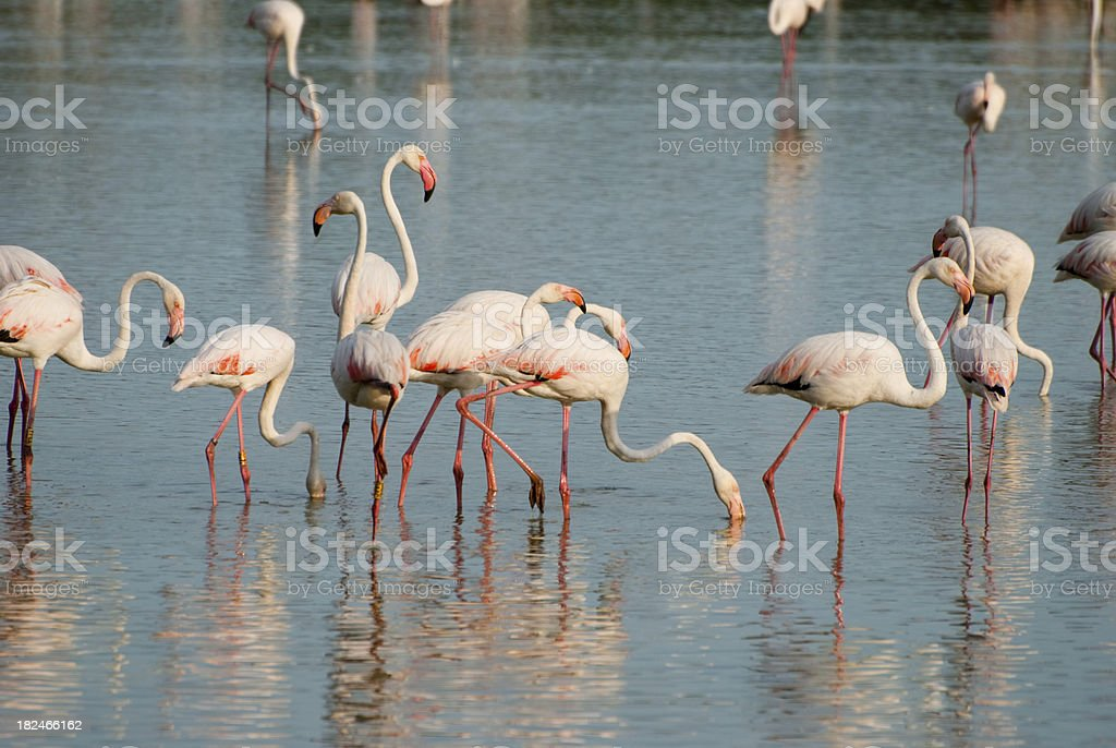 Flamengos stock photo