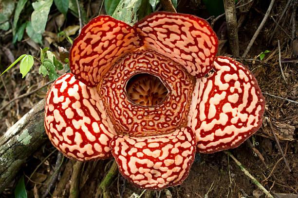 flesh eating plant rafflesia - double_p stockfoto's en -beelden