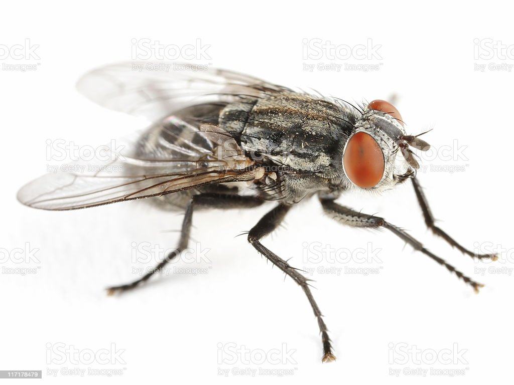 Flesh fly royalty-free stock photo