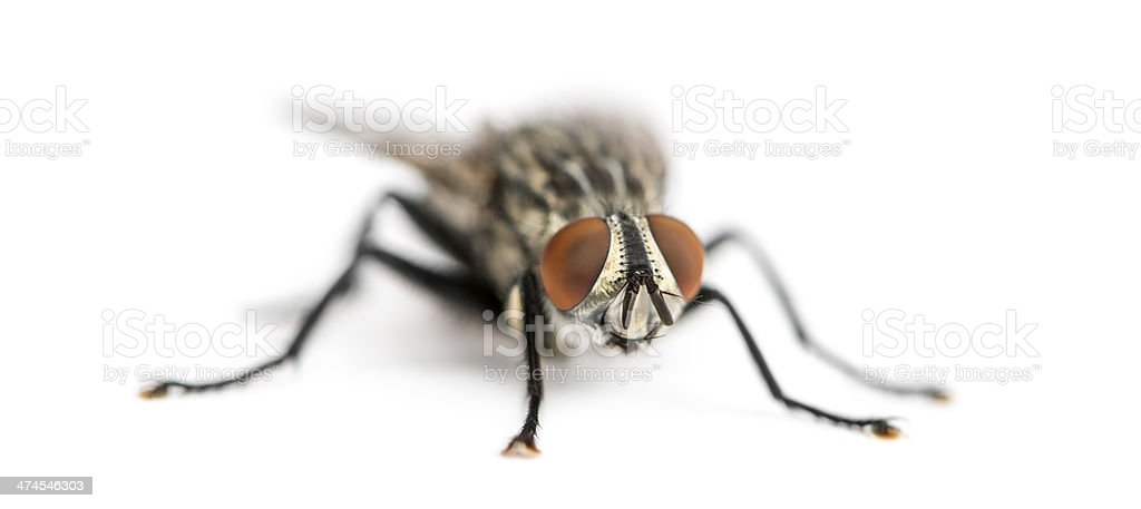 Flesh fly, Sarcophagidae, isolated on white royalty-free stock photo