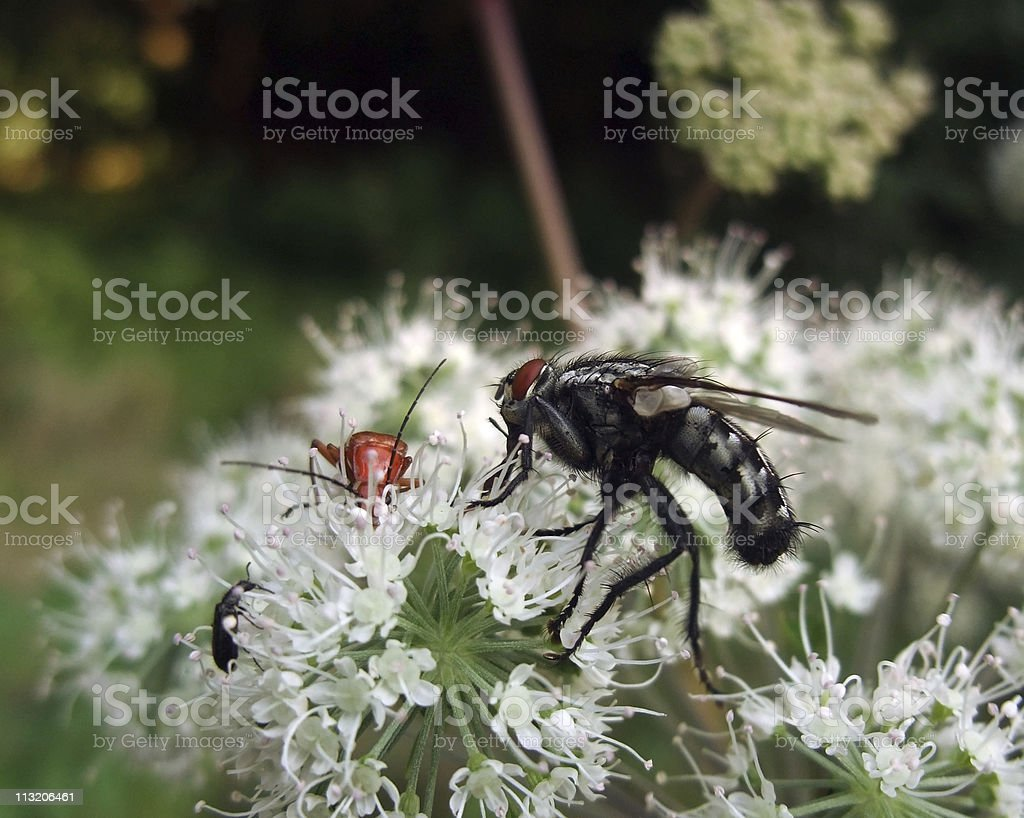 flesh-fly and beetles at summer time royalty-free stock photo