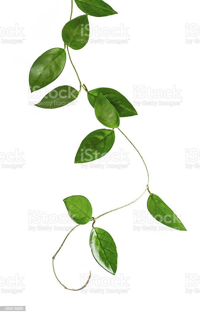 Hoya carnosa stock photo