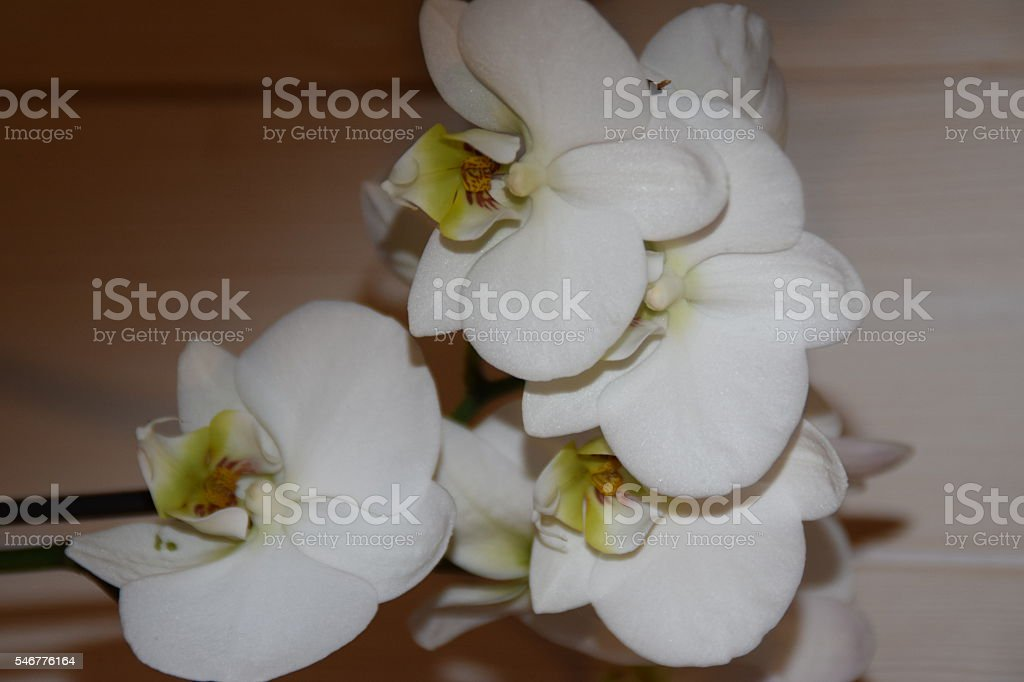 Fleur blanche stock photo