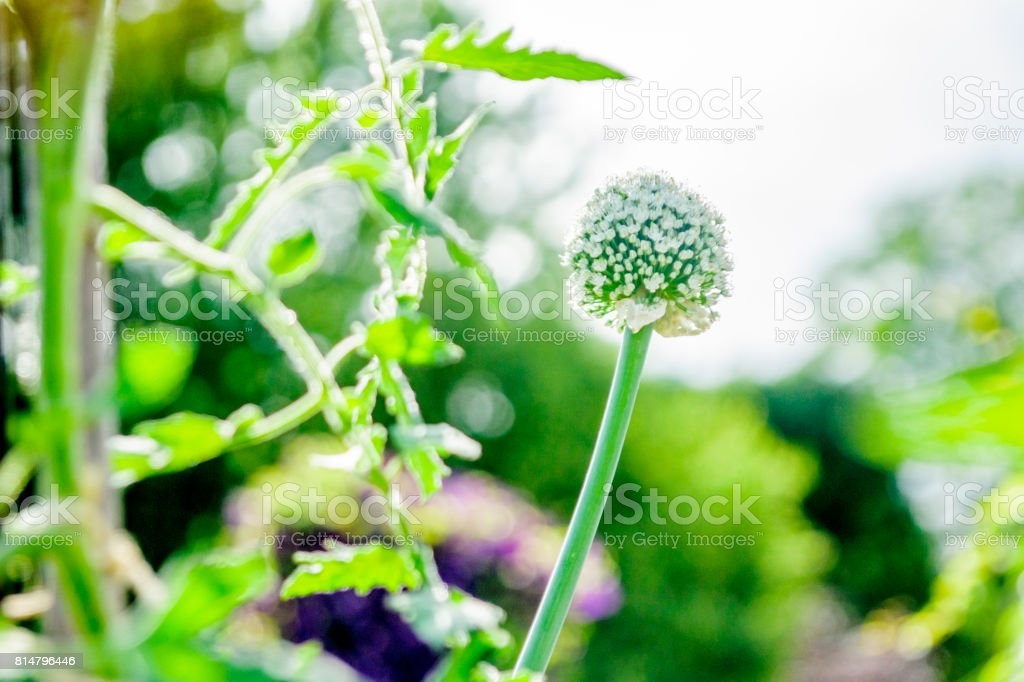 Fleur Dail Du Quebec Stock Photo More Pictures Of Agriculture Istock