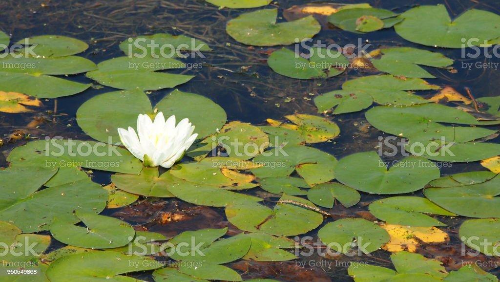 Fleur de nénuphar à gauche stock photo