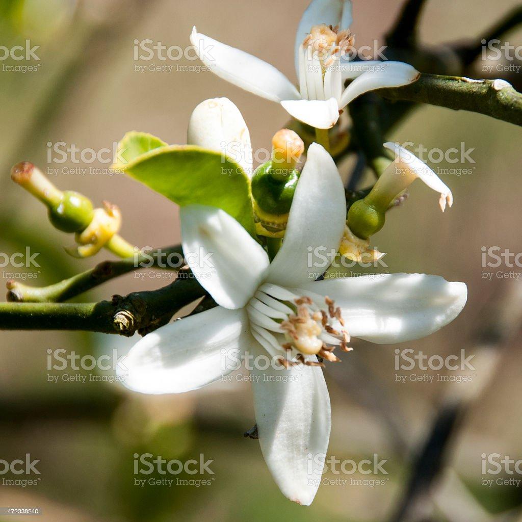 fleur d'oranger stock photo