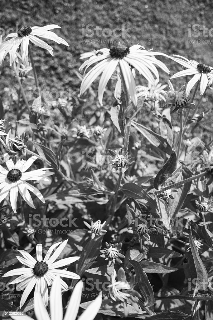 Fleur Noir Et Blanc Stock Photo More Pictures Of Agriculture Istock