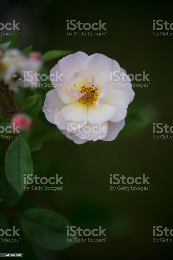 Fleur Rose De Couleur Blanche Seule Sur Fonds Noir Et Sombre En Vue