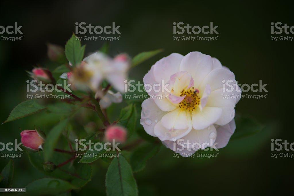 Fleur Rose De Couleur Blanche Seule Sur Fonds Noir Et Sombre Stock