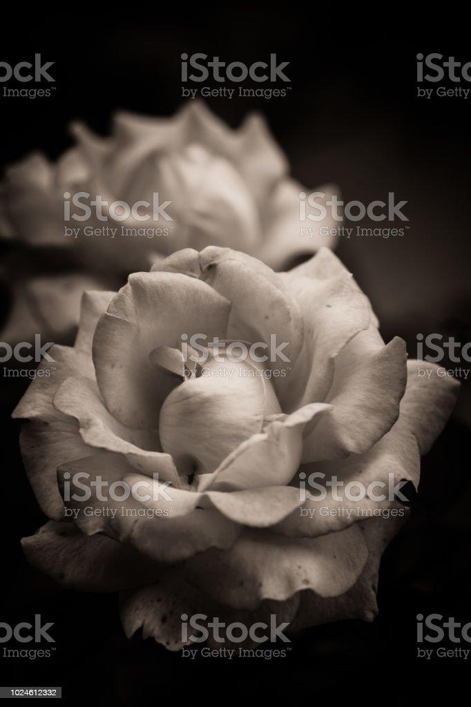 Fleur Rose De Couleur Jaune Et Rose En Noir Et Blanc En Vue