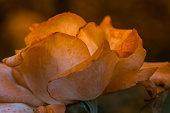 fleur rose de couleur orange clair en été dans un jardin