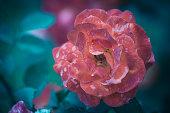 fleur rose de couleur rose blanche tachetée dans un jardin le matin en été en gros plan sur fonds bleu