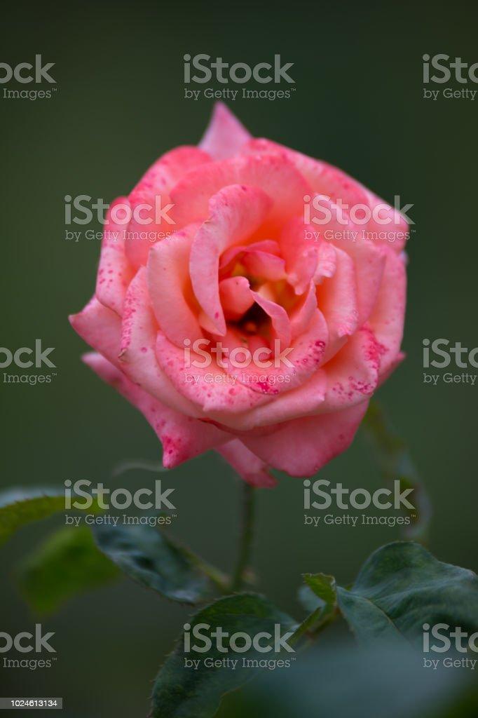 Fleur Rose De Couleur Rose Et Blanche Dans Un Jardin De Vue ...