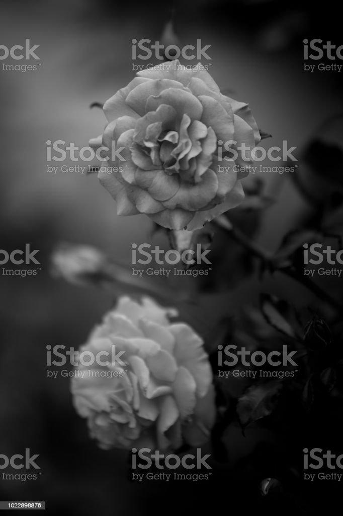 Fleur Rose En Noir Et Blanc En Ete Dans Un Jardin En Plan Rapproche