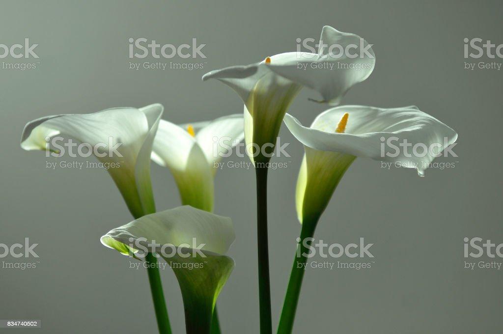 Flores Alcatraces Foto De Stock Y Más Banco De Imágenes De Arbusto
