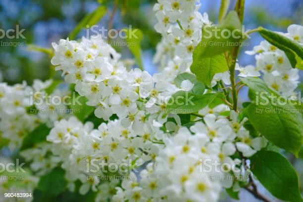 Fleurs blanche de jasmin sur branche picture id960483994?b=1&k=6&m=960483994&s=612x612&h=pvzjauduphojwujypyye8wmrkntpbrungojcih3m6lc=