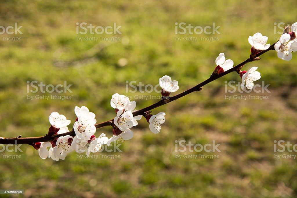 Fleurs d'abricotiers stock photo