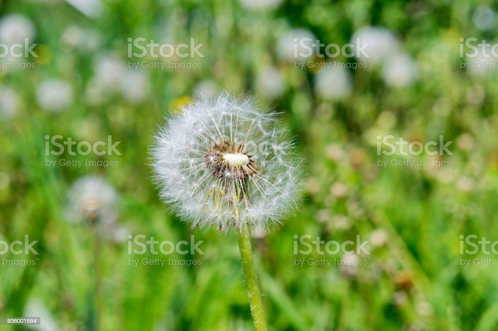 Flew a dandelion (milk-witch gowan) on a background of green fields. stock photo