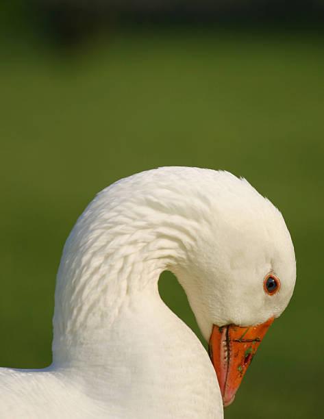Flexible white swan. stock photo