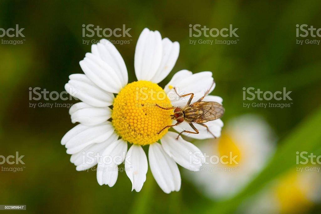 Fliege auf einer Bluete stock photo