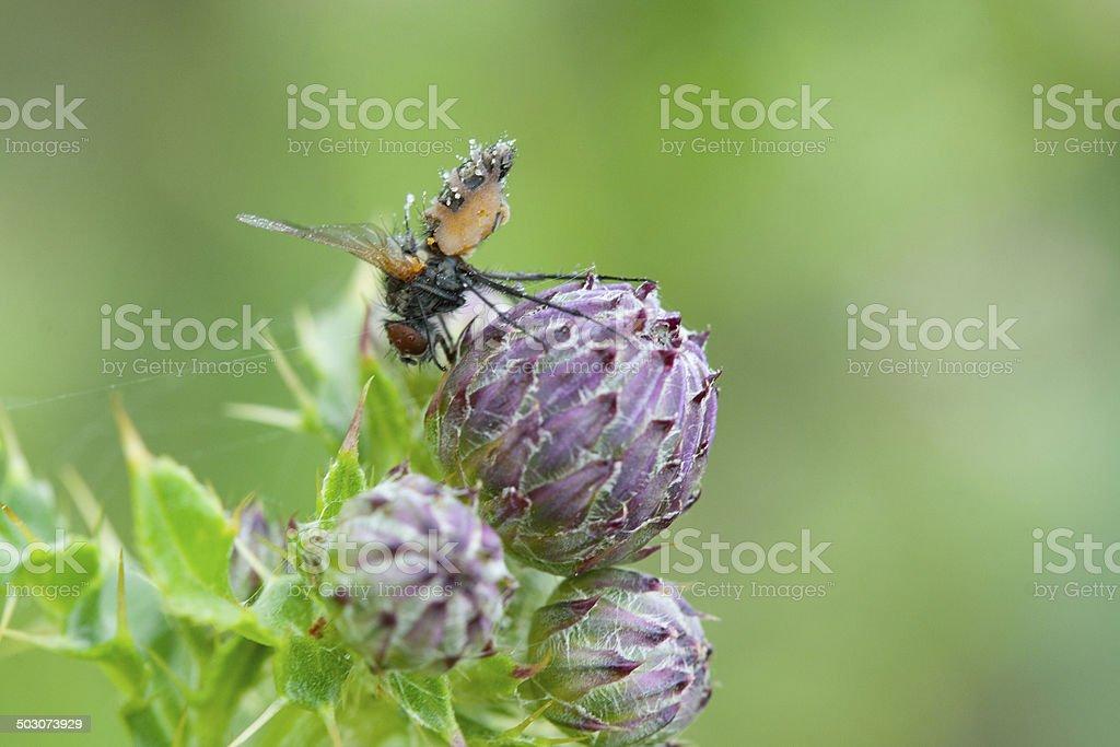 Fliege auf einer Distel stock photo