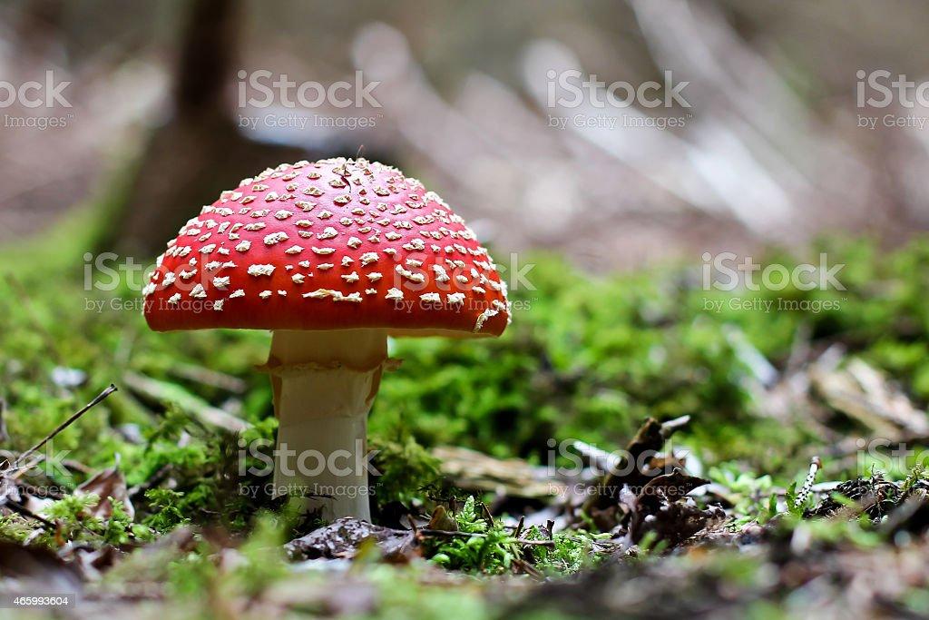Fliegenpilz close-up in nature scenery stock photo