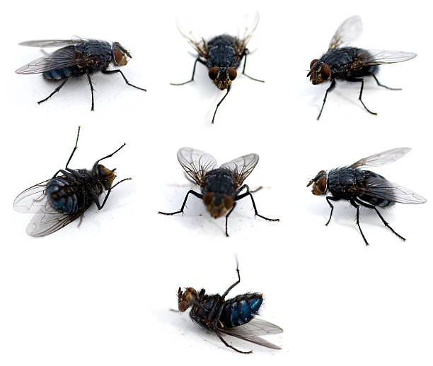 Flies isolated on white stock photo