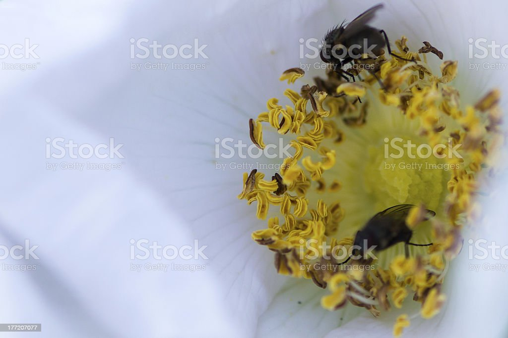 flies on blossom royalty-free stock photo