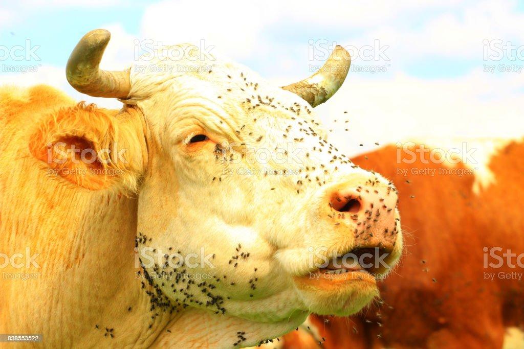 Flies on cow's head stock photo