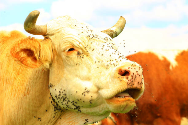 flies on cow's head - cud stock pictures, royalty-free photos & images