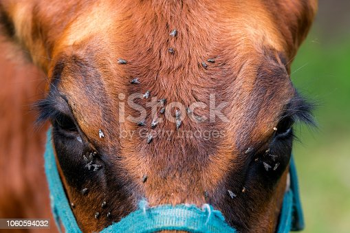 Flies on a brown horse's face. There and many files.