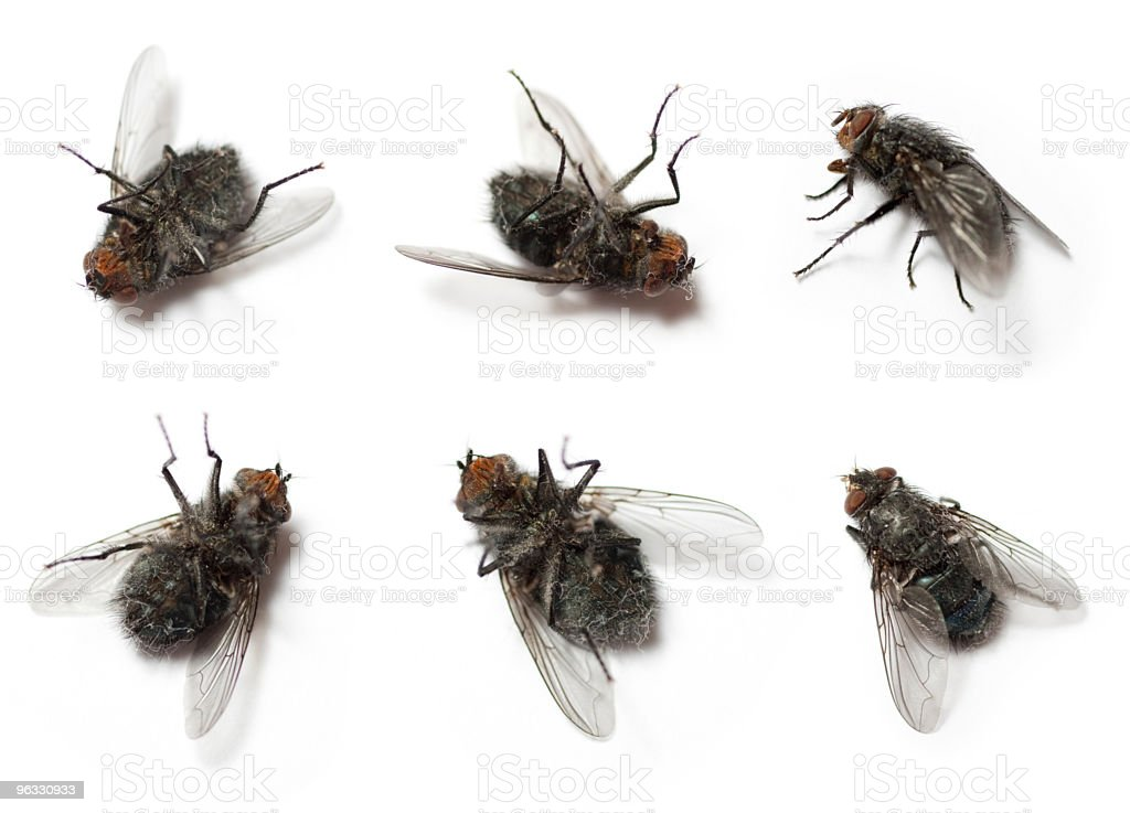 Flies on white background stock photo