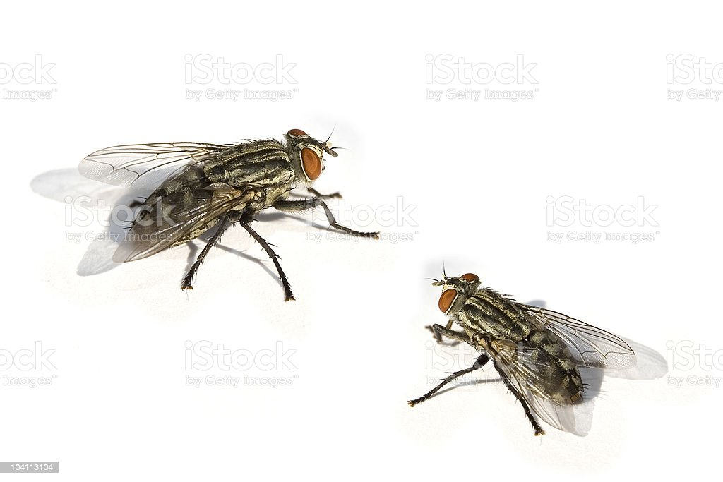 flies royalty-free stock photo