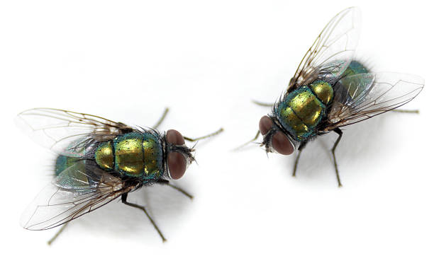 Flies Macro shoot of domestic flies. fly insect stock pictures, royalty-free photos & images