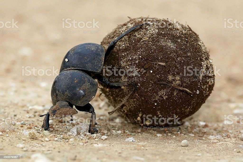 Flighless Dung Beetle Rolling Ball stock photo