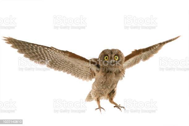 Flight european scops owl picture id1022140810?b=1&k=6&m=1022140810&s=612x612&h=xi98ubq1j60jka6xxdfkmkdtztsvx4qw0lqhc6p1 iu=